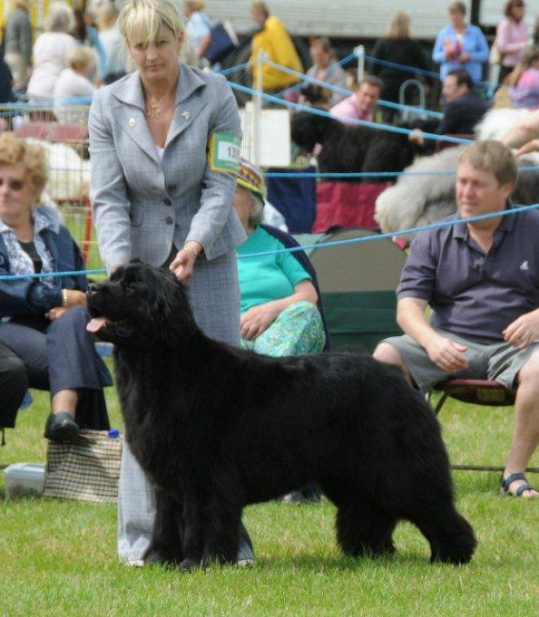 Whoopie standing in the show ring