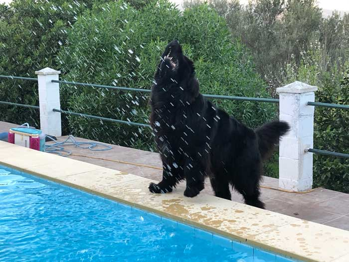 Newfoundland being splashed by a pool