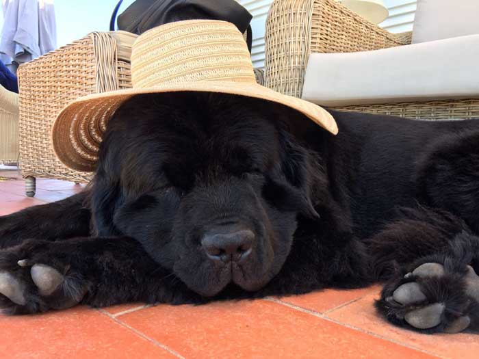 Black Newfoundland with a hat