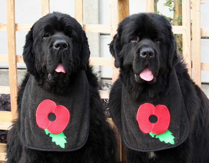 Newfoundlands wearing bibs with Poppies