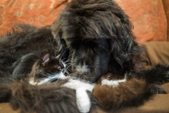 Cat snuggling with a black Newfoundland