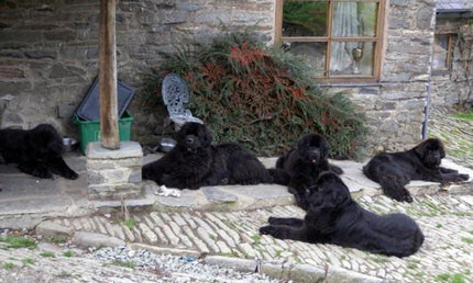 Group of Newfies is the courtyard