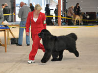 Suzanne moving Stride at the Working and Pastoral Breeds show in Wales