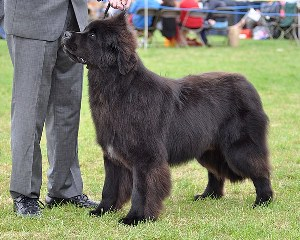 Sandbears Barney Rubble of Elbear in the show ring